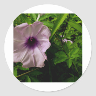 Morning Glory1 Classic Round Sticker