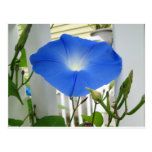 Morning Glory Flower Post Cards