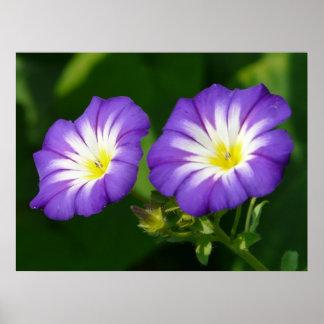 Morning glory flower poster