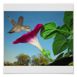 Morning Glory Hummer - poster