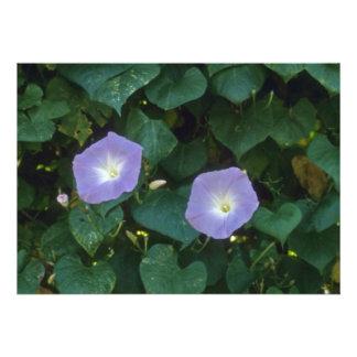 Morning Glory (Ipomoea Purpurea) flowers Invites