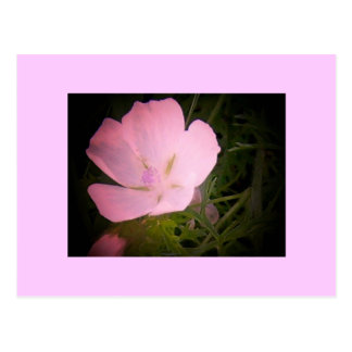 Morning Glory Pink Effect Postcard