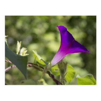 Morning Glory Post Cards