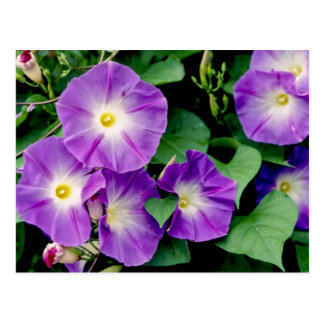 Morning Glory - Purple Flowers Green Leaves Post Cards