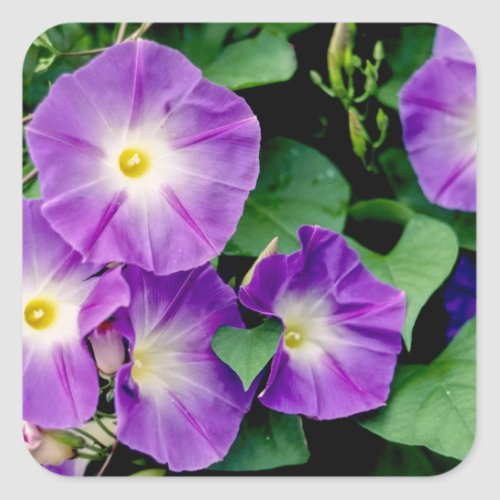 Morning Glory - Purple Flowers Green Leaves Square Sticker
