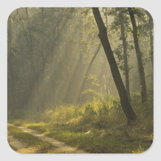 Morning light beams through trees in jungle square sticker