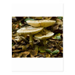 Morning Mushrooms Post Card