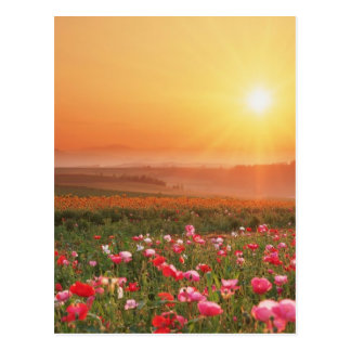 Morning Poppies Postcard
