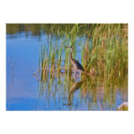 Morning Reflections of a Tricolored Heron Posters