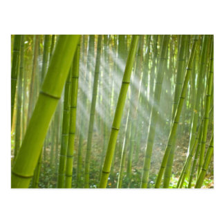 Morning sunlight filtering through bamboo postcard
