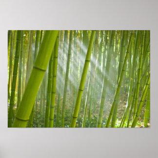 Morning sunlight filtering through bamboo poster