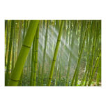 Morning sunlight filtering through bamboo posters