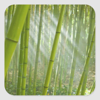 Morning sunlight filtering through bamboo square sticker