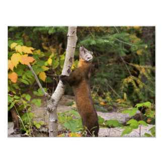 Morning Visitor - The Pine Marten Poster