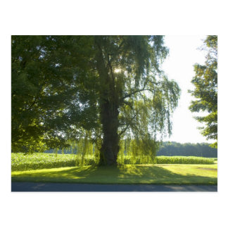 Morning Willow - Start the Day off Bright Postcard