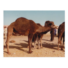 Moroccan Camel Postcard at Zazzle