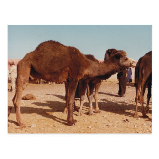Moroccan Camel Postcard