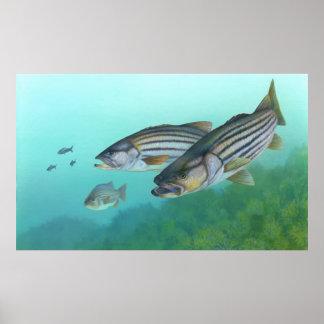 Morone atlántico Saxatilis de los pescados de la l Poster