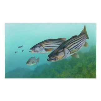 Morone atlántico Saxatilis de los pescados de la l Posters