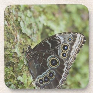 Morpho azul, menelaus de Morpho, adulto nuevamente Posavaso