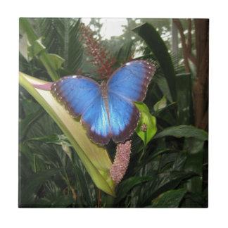 Morpho azul Peleides Azulejo
