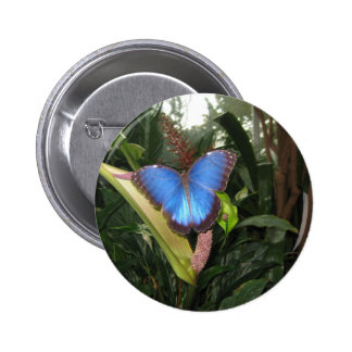 Morpho azul Peleides Pins