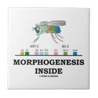 Morphogenesis Inside Drosophila Fruit Fly Genes Small Square Tile