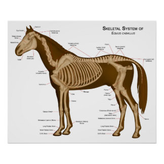 Morphology and Locomotive System of a Horse Poster