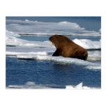Morsa en el Océano ártico Postal