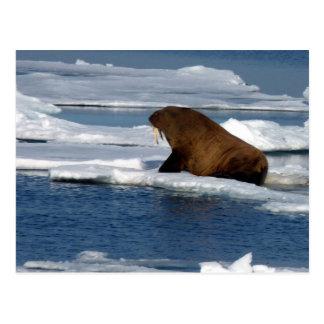 Morsa en el Océano ártico Tarjetas Postales