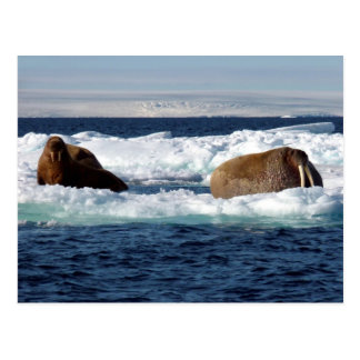 Morsas en Storoya, Svalbard Tarjetas Postales