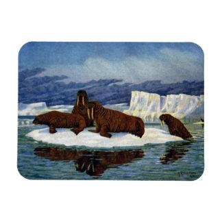 Morsas en una masa de hielo flotante de hielo iman