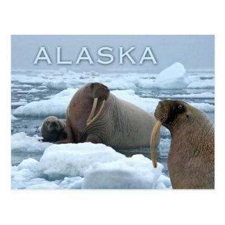 Morsas y perrito, mar de Chukchi, Alaska Postal