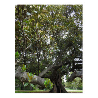 Morton Bay Fig Postcard