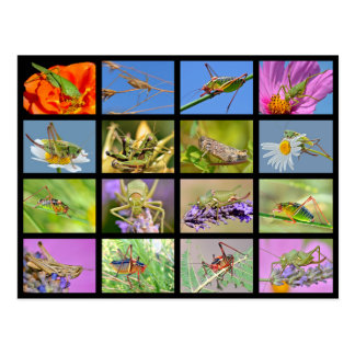 Mosaic photos of grasshoppers postcard