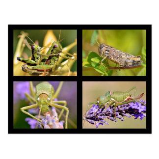 Mosaic photos of grasshoppers postcard