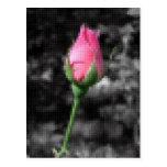 Mosaico 4 color de rosa rosados postal