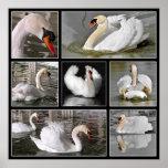 Mosaico múltiple de las fotos de cisnes mudos impresiones