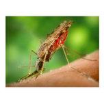 Mosquito por completo de la postal de la sangre