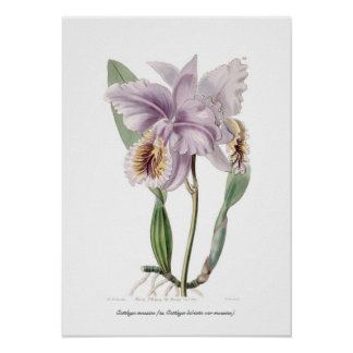 Mossiae de Cattleya Posters