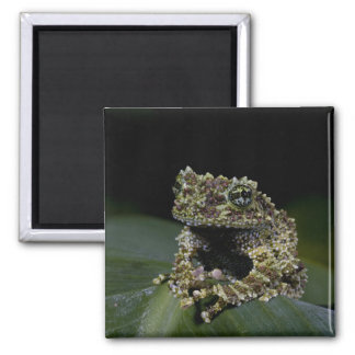 Mossy Treefrog, Theloderma corticale, Native 2 2 Inch Square Magnet