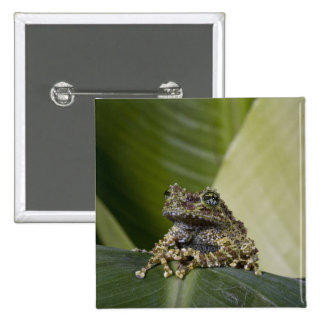 Mossy Treefrog, Theloderma corticale, Native 2 Inch Square Button