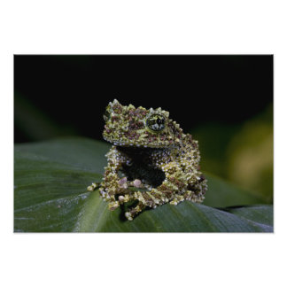 Mossy Treefrog, Theloderma corticale, Native 2 Photo Print