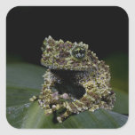 Mossy Treefrog, Theloderma corticale, Native 2 Square Sticker
