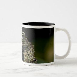 Mossy Treefrog, Theloderma corticale, Native 2 Two-Tone Coffee Mug