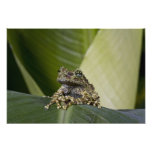 Mossy Treefrog, Theloderma corticale, Native Photograph