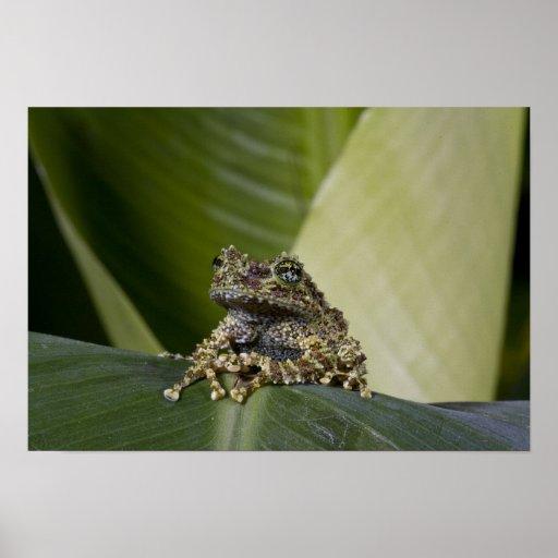 Mossy Treefrog, Theloderma corticale, Native Print