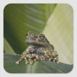 Mossy Treefrog, Theloderma corticale, Native Square Stickers