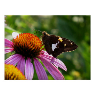 Moth and Coneflower Poster