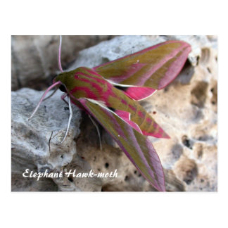 Moth Magic: Elephant Hawk-moth postcard